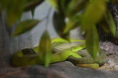 jamy zielona żmija Zdjęcie Stock