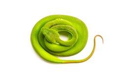 jamy zielona żmija Zdjęcia Stock