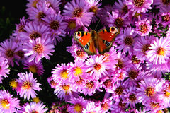 Jan Hojan. Czech rebulika butterfly garden chrysanthemum flowers Duba Toschen Hojan autumn beauty of nature Europe Stock Photos
