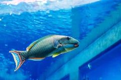 Parrot fish in ocean tank at the Churaumi Aquarium in Okinawa, J. JAN 28, 2013 Naha, Okinawa - JAPAN : Beautiful Parrot fish in ocean tank at at the Churaumi royalty free stock images