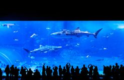 People watching the whale shark among other fishes at the Churaumi Aquarium in Okinawa, Japan stock image