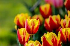 Jan Seignette Tulips in Showa Kinen KoenShowa Memorial Park, Tachikawa, Tokyo, Japan in de lente Stock Foto's