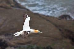 Jan-van-gent die bij de kust van Muriwai, Nieuw Zeeland vliegen royalty-vrije stock foto