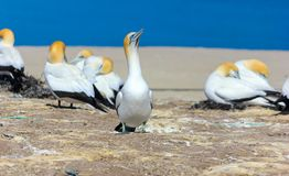 Jan-van-gentvogel, die op rots in jan-van-gentkolonie Nieuw Zeeland zitten stock foto