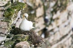 Jan-van-gentzitting op het nest van de klippenrand Stock Fotografie