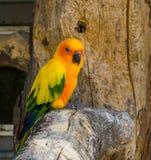 Jandaya长尾小鹦鹉坐在特写镜头,普遍和五颜六色的宠物的一个树枝从巴西 库存照片