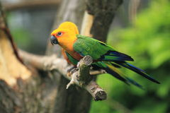 Jandaya conure Royalty Free Stock Photos