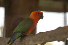 Jandaya or jenday conure perching Stock Images