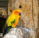 Jandaya papegoja som sitter på en trädfilial och gör en tillfredsställd framsida, en tropisk färgrik fågel från Brasilien royaltyfri bild