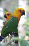 Jandaya parakeet - οικογένεια παπαγάλων Στοκ Φωτογραφίες