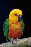 Jandaya parakeet (Aratinga jandaya) zdjęcia royalty free