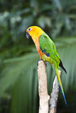 Jandaya Parakeet Parrot. Jandaya Parakeet, multi colored parrot in a tree royalty free stock photo