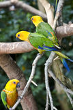 Jandaya Parakeet, parrot from Brazil. Jandaya Parakeet, multi colored parrot from Brazil royalty free stock images
