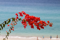 Jandia Beach in Fuerteventura, Spain. Jandia Beach and Bougainvillea in Fuerteventura, Spain Stock Images