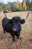 Jane Górska krowa Obraz Royalty Free