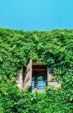 Janela aberta na parede verde com planta de escalada Fotografia de Stock