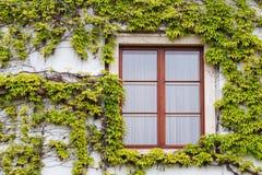 Janela de madeira velha coberto de vegetação com a hera em cores da queda Fotografia de Stock Royalty Free