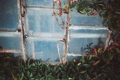 Janela de vidro no abandonado e coberto de vegetação velhos com a casa selvagem da uva Foto de Stock