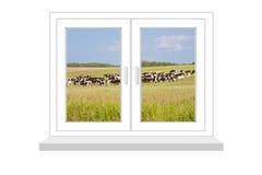 Janela fechado com um tipo no rebanho das vacas Fotos de Stock Royalty Free