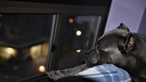 Janela italiana da noite do protetor do mastim do corso do bastão fotos de stock royalty free