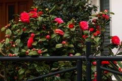 A janela verde da cerca sae dos arbustos cor-de-rosa vermelhos brilhantes que crescem a entrada selvagem imagens de stock