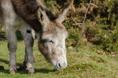 Janesmoor Wildlife. A donkey grazes near Janesmoor Pond, New Forest National Park Royalty Free Stock Photography