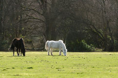 Janesmoor Wildlife. Ponies graze near Janesmoor Pond, New Forest National Park Royalty Free Stock Photography