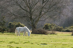 Janesmoor Wildlife. Ponies graze near Janesmoor Pond, New Forest National Park Stock Image