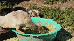 Jangada dos patos que alimentam em grões da bacia plástica (ascendentes próximos) filme