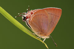 Jangala de la mariposa/de Remelana Foto de archivo