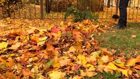 Janitor sweeps autumn yellow fallen leaves in one pile on a sunny day. Autumn in the city stock video footage