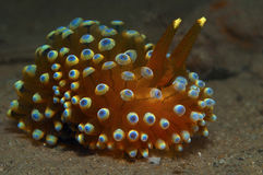 Janolus cristatus. A big nudibranch searches for food in the sand Royalty Free Stock Photos