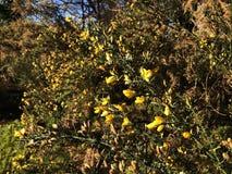 Janowa Anglica Drobny Whin, Igielny złotochrust lub igły Whin w parku, fotografia stock