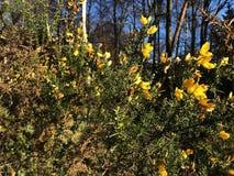 Janowa Anglica Drobny Whin, Igielny złotochrust lub igły Whin w parku, zdjęcie stock