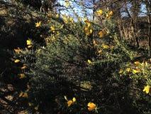Janowa Anglica Drobny Whin, Igielny złotochrust lub igły Whin w parku, zdjęcia stock