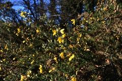 Janowa Anglica Drobny Whin, Igielny złotochrust lub igły Whin w parku, obraz stock