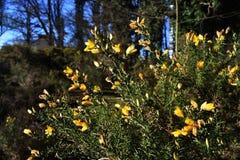 Janowa Anglica Drobny Whin, Igielny złotochrust lub igły Whin w parku, zdjęcia royalty free