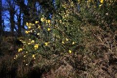 Janowa Anglica Drobny Whin, Igielny złotochrust lub igły Whin w parku, zdjęcie royalty free