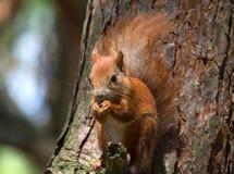 Jantando o esquilo Fotografia de Stock Royalty Free