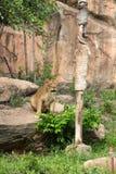 Jantando o leão imagens de stock royalty free