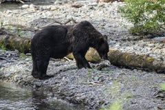 Jantar do urso Foto de Stock Royalty Free