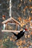 Jantar do Woodpecker de Pilliated Imagens de Stock
