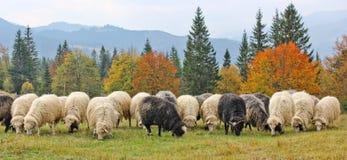 Jantar dos carneiros nas montanhas Foto de Stock Royalty Free