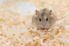 Jantar o hamster Fotografia de Stock