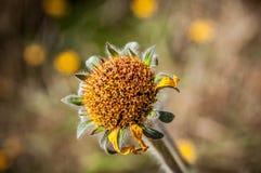 Januar-Blume Stockbilder