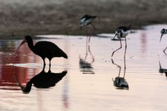 A long beak black bird near some other small thin birds standing on a reflexive water surface in Campeche, Florianopolis, Brazil royalty free stock photo