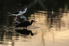 A long beak black bird near some other small thin birds standing on a reflexive water surface in Campeche, Florianopolis, Brazil royalty free stock photos