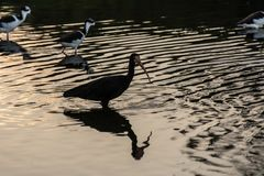 A long beak black bird near some other small thin birds standing on a reflexive water surface in Campeche, Florianopolis, Brazil royalty free stock images