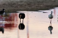 A long beak black bird near some other small thin birds standing on a reflexive water surface in Campeche, Florianopolis, Brazil stock photos