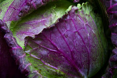 January King Cabbage Royalty Free Stock Photo